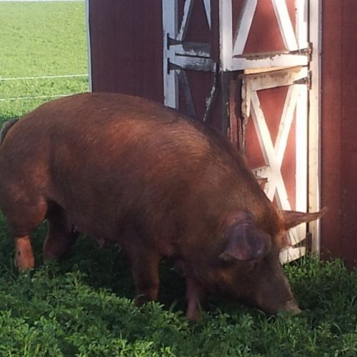 pig in the pasture