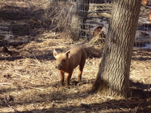 piglet in the woods