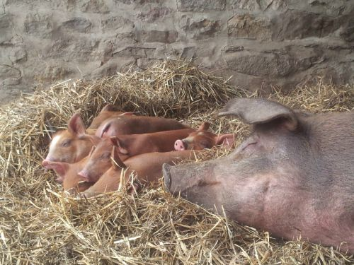 sow with newborn piglets