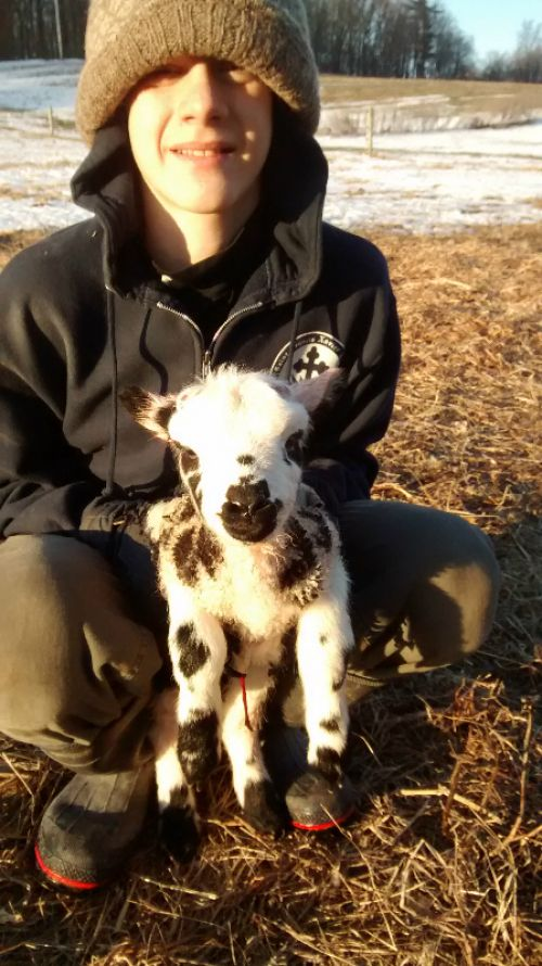 newborn Jacob lamb