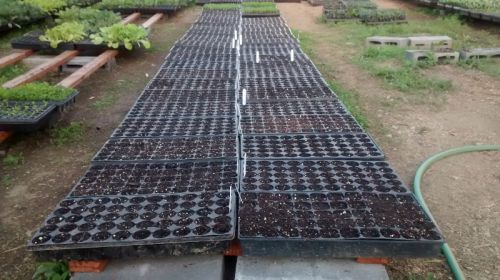 seeded trays in greenhouse