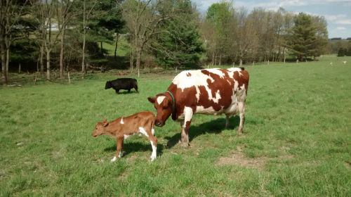 calf with Nana