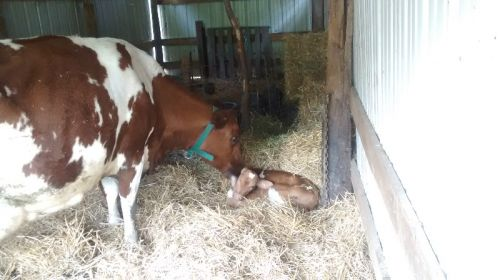 Nana licking new calf