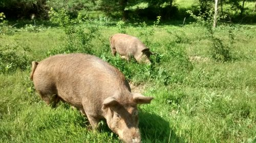 sows in pasture