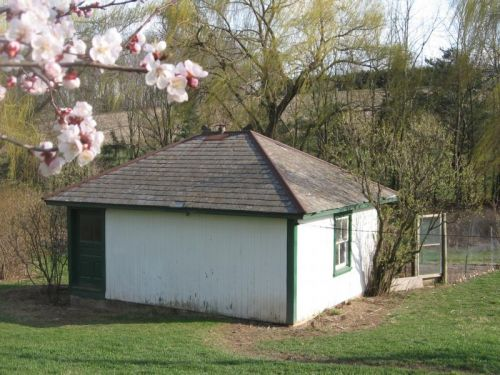 Apricot Blossoms at Brooder house