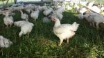 Broilers on grass