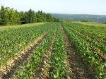 Sweet Corn growing well.