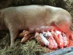 Big mama, little piggies!