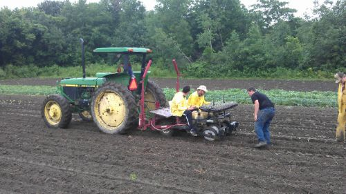 Transplanting fall broccoli