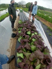 """Mustard Greens - """"Red Giant"""" (bunch)"""