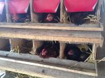 Hens laying their eggs