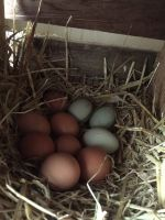 Typical nest of eggs