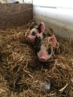 Piglets waking up. They sleep under the straw.
