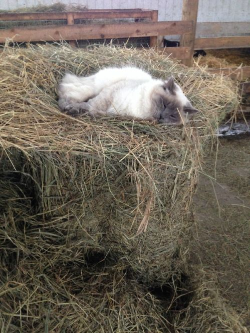 Olaf loves napping in the hay