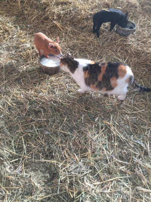 Cat and piglet want milk together.....lol