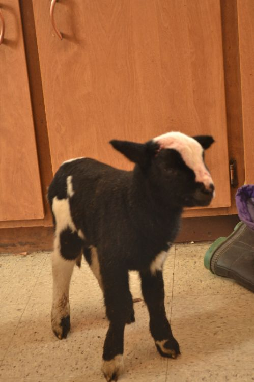 A lamb that needed extra care