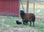 2011 First Lambs