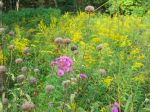 New England Aster, Goldenrod and Beebalm dry heads