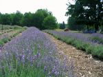 'Royal Purple' English Lavender in bloom