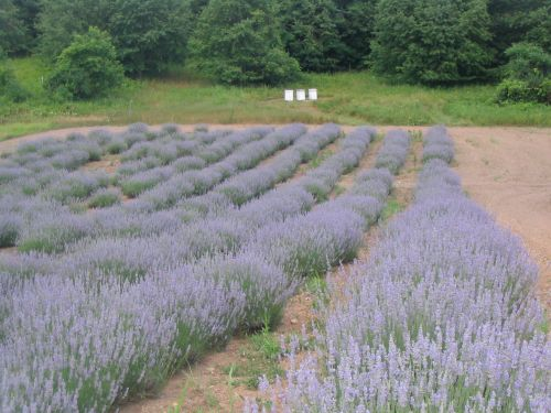 Beehives by Lavender Field