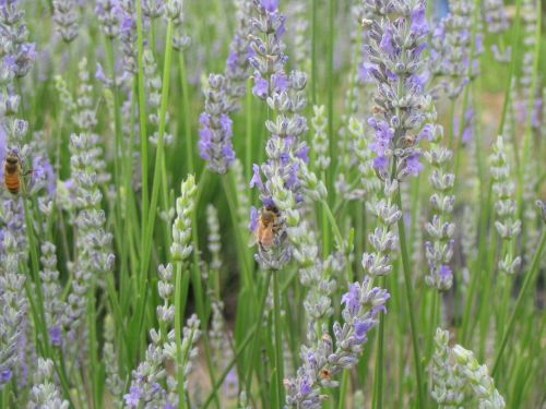 Honeybees on Lavender