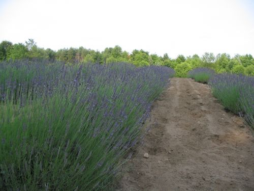 Grosso Lavender in Bloom