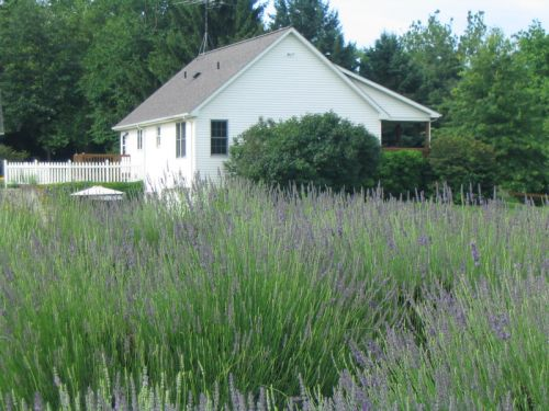 lavender with house