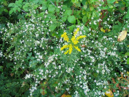 White Aster and Goldenrod