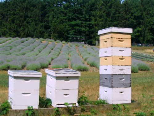 Honey bee hives & lavender