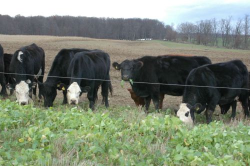 Cows eating turnips in the fall
