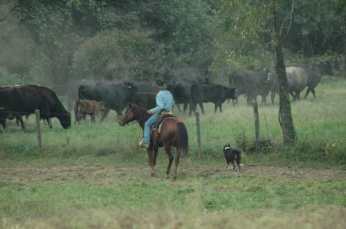 late summer cattle drive