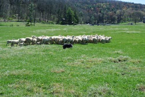 first sheep drive of 2012