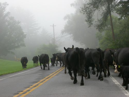 an early morning cattle drive