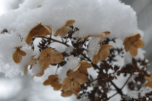 Hydrangea, pretty even through snow
