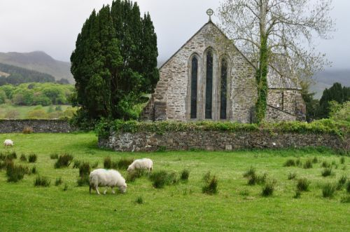Sheep grazing near a small Welsh cathedral.