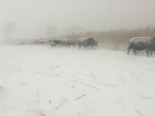 Frontier farming. We were caught in a thunder snow. The cows didn't mind and I found it invigorating.
