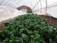 2# Great Oak Farm Spinach