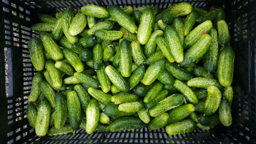 fresh picked pickling cukes