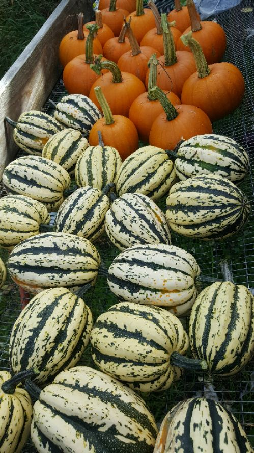 Acorn squash and pie pumpkins