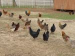 Free-ranging chickens