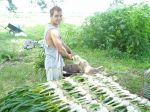 Ryan laying out garlic to cure