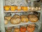 Pumpkin storage in cellar