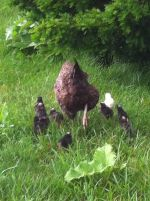Hen hatched and raised chicks