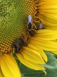our native pollinators like to sleep in our sunflowers! Bottoms up!