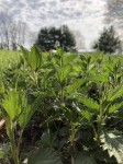 young nettles on the rise