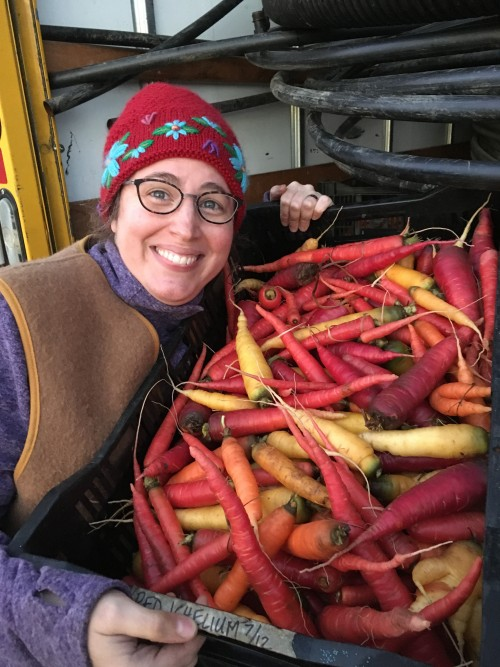 An early winter harvest of carrots!
