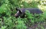 Pig in the Woods