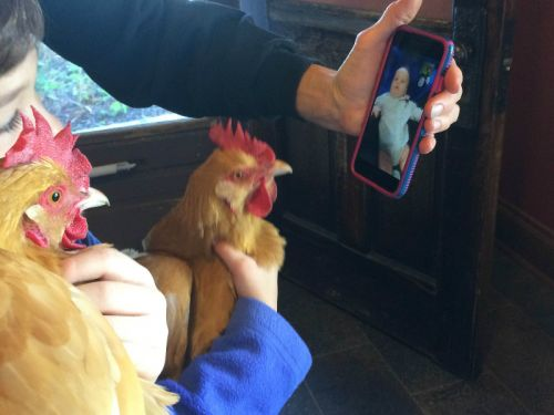 Chickens can Facetime!