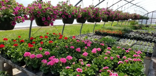 Syme Family Farm is Open for Your Flowering needs and More! @ Syme Family Farm
