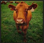 Our cows are super friendly and super curious! This is Buttercup wondering what a phone was.